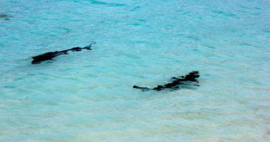 Акулы на Мальдивах – насколько реальна опасность?