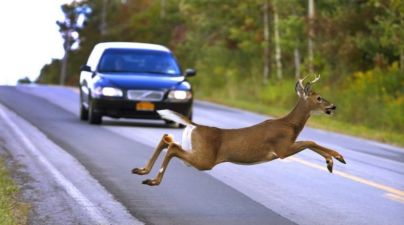 5 правил поведения за рулём, если на дорогу выбежало животное